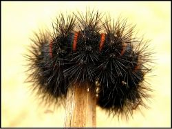 Did you find a Black Fuzzy Caterpillar? Does it look like this? If so, you might have a Giant Leopard Moth caterpillar sometimes called an Eyed...