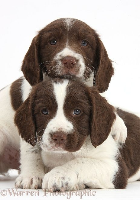 Springer Spaniel puppies, 6 weeks old. Warren Photograph