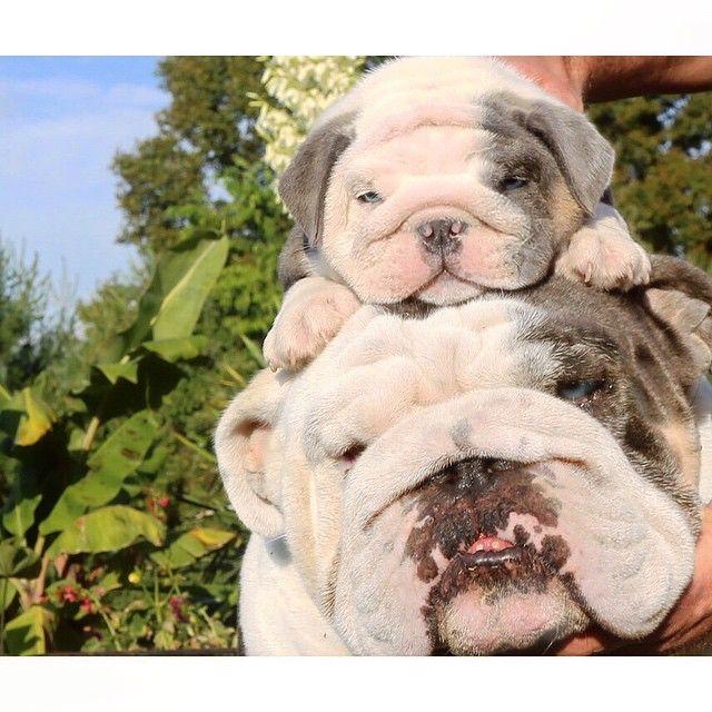 Stackabull cuteness #Bulldogs
