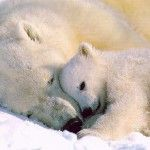 Fotos de urso polar: Bears Hug, Mothers Day, Animal Baby, Polar Bears, Bears Cubs, Polar Bear, Baby Animal, Animal Photos, Cutest Animal