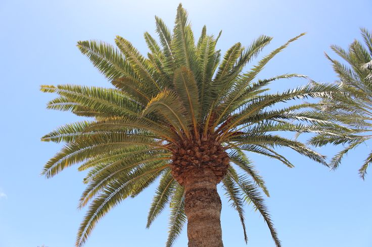 Palm Tree in Gran Canaria