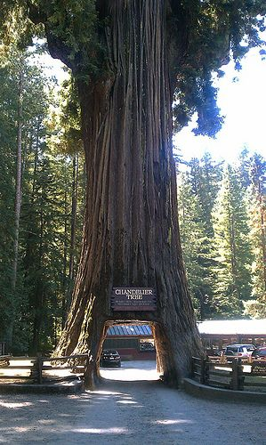 Drive-thru tree in The Redwoods National Forest. Northern California