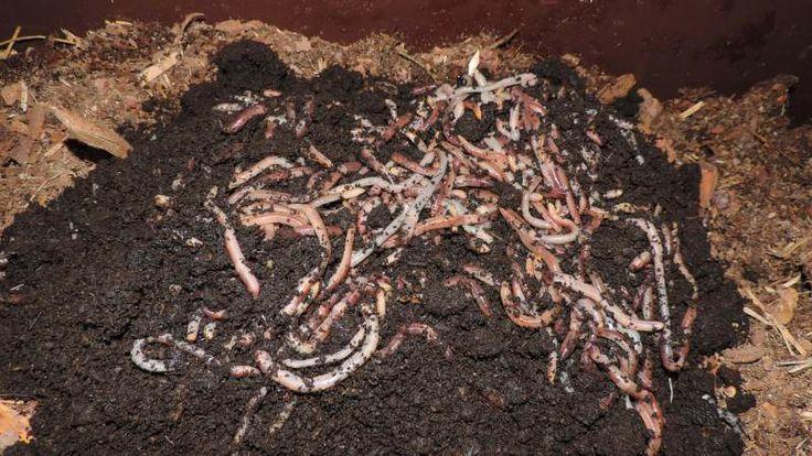 Solucanlar ve Solucan Kompostu