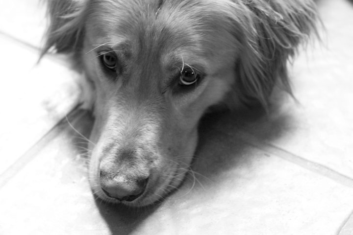 Dogs~ Golden Retrievers ~ Puppies ~ Pups ~ sweet faces