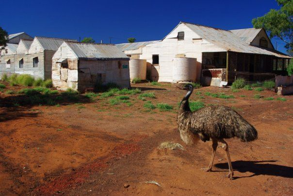 Emu at Gwalia Ghost Town, Leonora, Western Australia