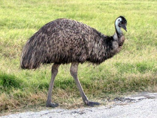 Emu...National bird of Australia