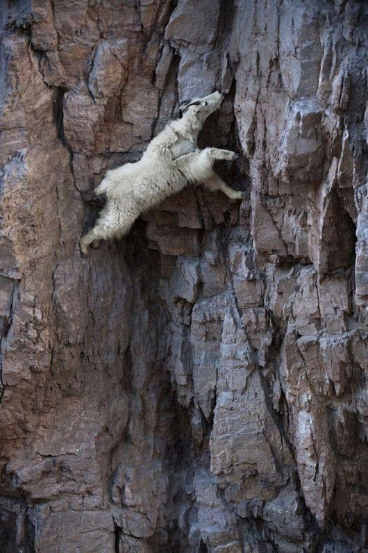 22 foto dimostrano il folle e innato coraggio delle capre di montagna