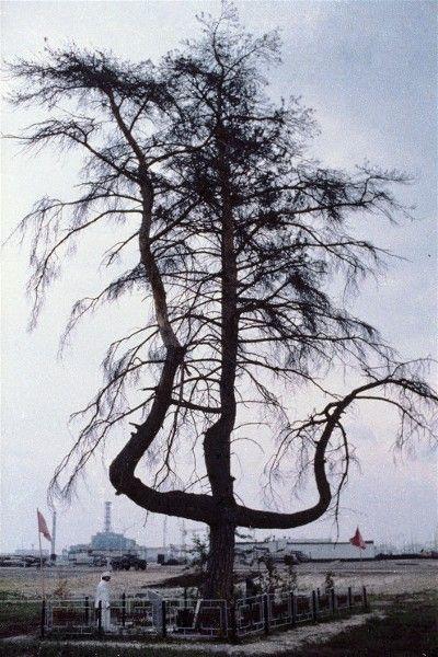 A mutated pine tree against the backdrop of the nuclear plant in Chernobyl.  Photo credit: Igor Kostin