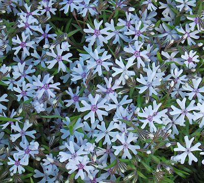 Phlox subulata 'Petticoat' Polsterphlox