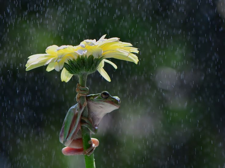 ☔️ Shelter from the Rain ~ lol , laughing out loudly  lots of laughs .. the Dumpy Tree Frog climbed up the Gerbera Daisy  Photo by Ajar Setiadi - National Geographic Your Shot.