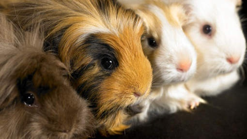 Guinnea Pigs, especially the funky furred ones!