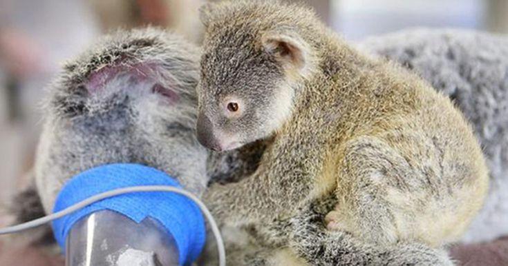 Baby Koala Hugs Unconscious Mom During Life-Saving Surgery | Bored Panda