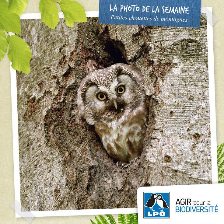 Du 8 au 10 novembre, la LPO et l'ONF organisent la 1re rencontre nationale sur le thème des « petites chouettes de montagne » à Sarrebourg en Moselle, en bordure du massif vosgien. Plus d'infos : http://www.lpo.fr/actualite/1re-rencontre-nationale-du-reseau-petites-chouettes-de-montagne