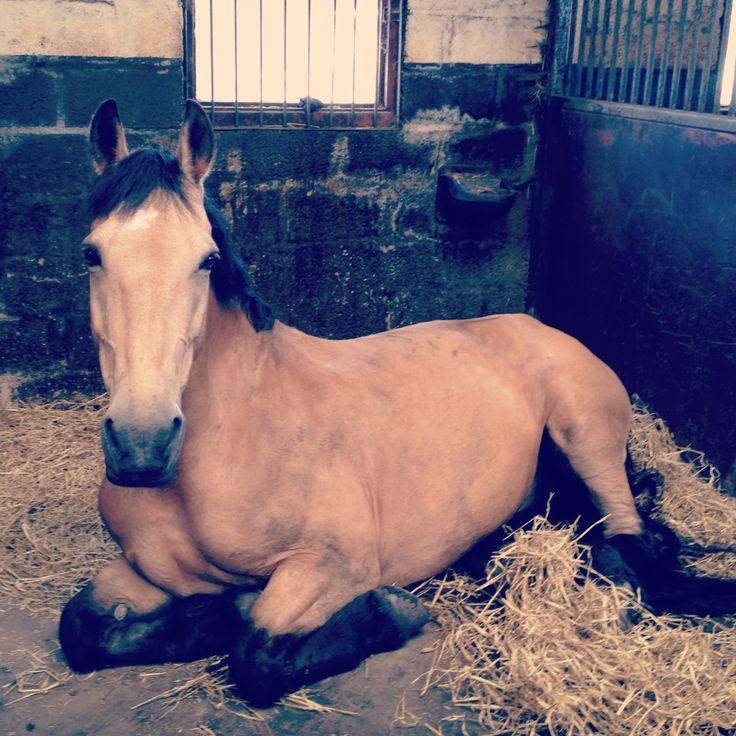 Bucksin<3: Beautiful Horses, Buckskin Horses, Horses 3, Horses Horses, Baby, Horses Barns, Horses Animals 3, ️Horses Equestrians ️