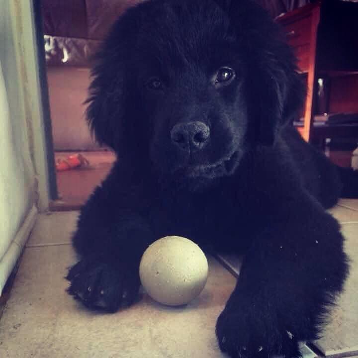 THE GREAT ZEUS NEWFOUNDLAND DOG  Newfoundland Puppy just 3 months old  Share with me these pictures from when he was still a baby.  Cachorro terranova de solo 3 meses de edad. Comparte conmigo mis fotos de cuando aun era un bebé.  Follow me on Instagram: https://www.instagram.com/thegreat_zeus01 Facebook: https://www.facebook.com/thegreatzeus01/