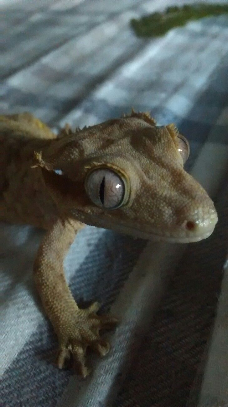 Ysera the crested gecko