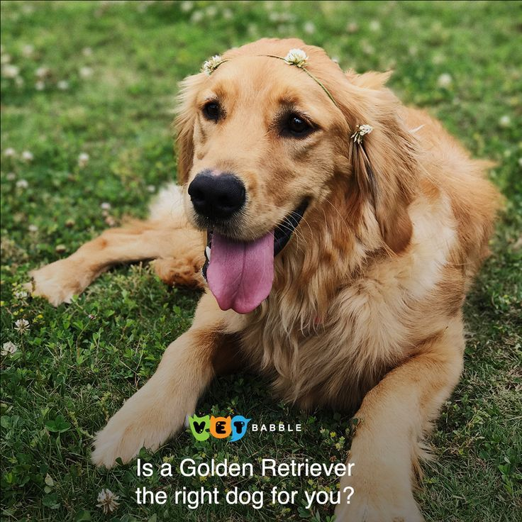 Golden Retriever Golden Retriever Breed Guide Dog Dogs