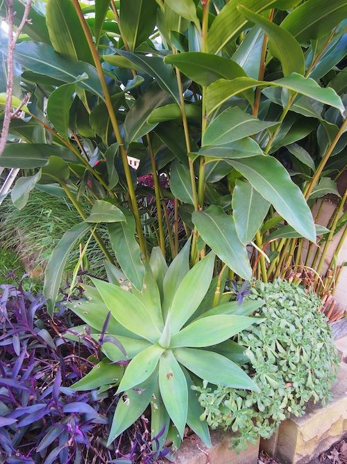 Agave, Ginger, Tradescantia and succulent