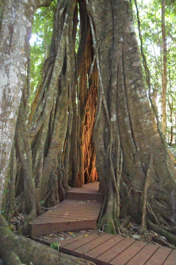Tree tunnel, Bunya mountains, Queensland, Australia
