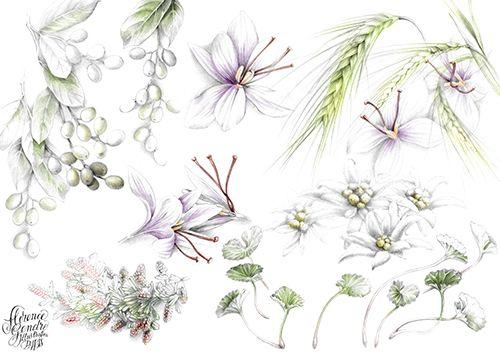 Illustration botanique-plantes cosmétique-Florence Gendre