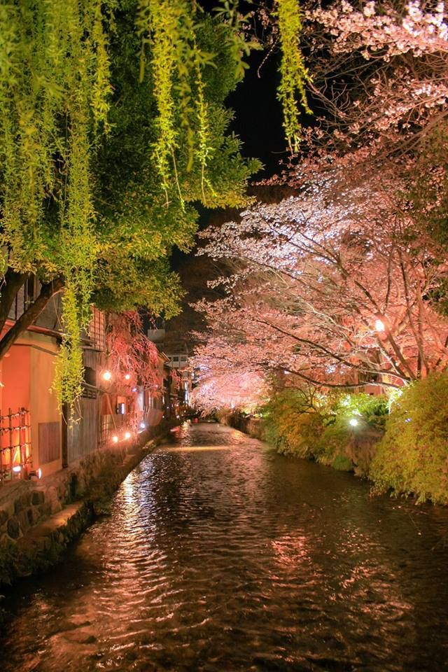 Cherry trees at night in Gion, Kyoto, Japan: an enchanted forest over a beautiful river.