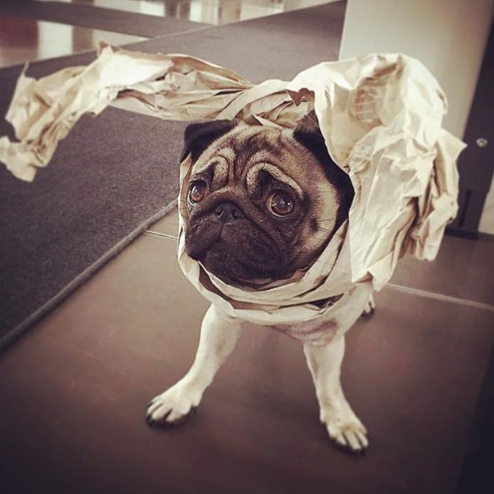 #pippa24seven #mops #pug #pippa #mopsliebe #puglove #hunde #dogs #mopsoftheday #dogoftheday #instadog #instamops #instapug #lovepug #lovemops #doglover #puglife #mopsaddicted #pugaddicted #pugseverywhere #ilovepugs #babypugs #pugsofinstagram #mopsofinstagram