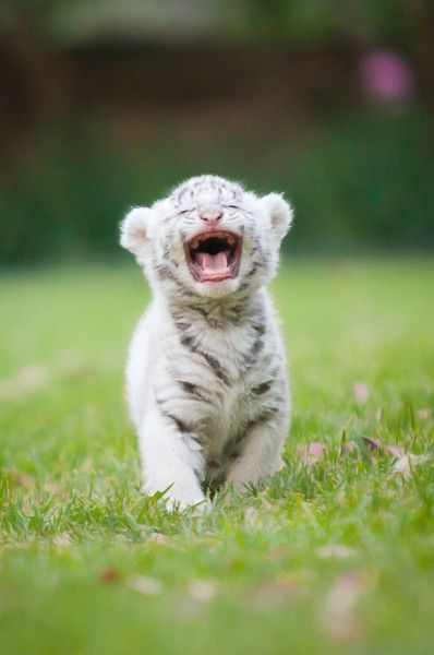How cute is this White Tiger Cub by Josi Lan!