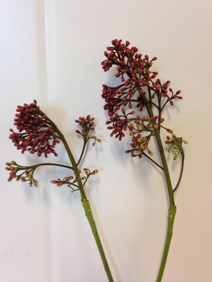 Norsk navn: Skimmia Botanisk navn: Skimmia japonica