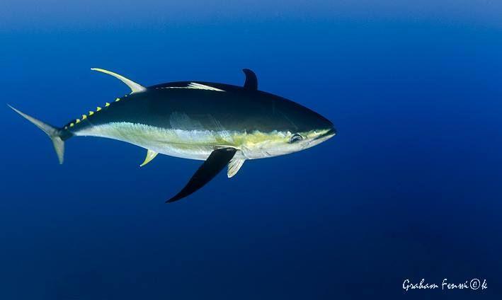 Yellowfin Tuna are so greedy they eat themselves slow. Read more at www.xtremecharters.co.za/updates.html #yellowfintuna #pigofthesea #grahamfenwickphotography #tuna #fishing