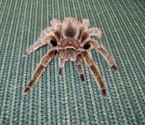 Rosie is an adoptable friendly Chilean Rose hair Tarantula in Christmas, FL.