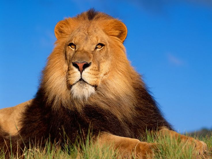 Extraordinary Handsome African Male Lion.