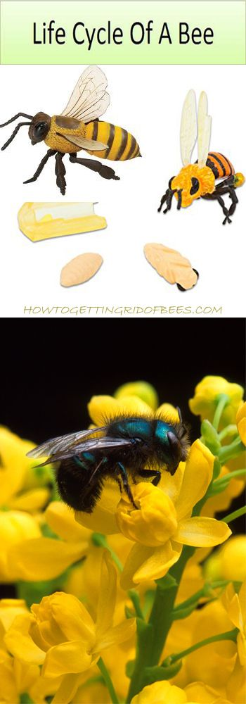 Life Cycle of a Bee - How Honey Bees and Queen Bees change as they grow with Insect Lore's Honey Bee Life Cycle Stages.