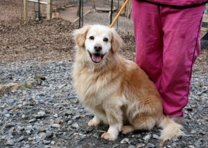 Bo is an adoptable Golden Retriever Dog in Cleveland, GA.   Bo is a Golden Retriever mix.  He is one of our special needs dogs.  He is about 7 years old and is mostly blind.  He can see light and shap...