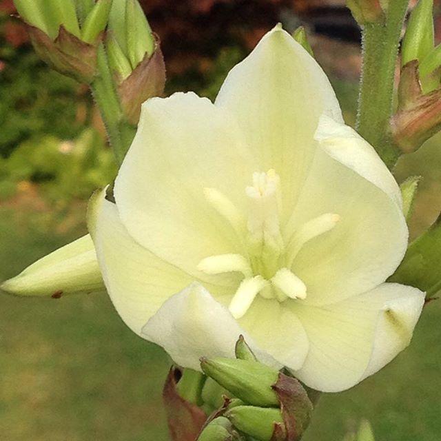 #mindfulness#achtsamkeit#walnuttree#walnussbaum#gardening#garten#natur#nature#naturelovers#landliebe#landlust#bauerngarten#gartenglück#gartenliebe#wachstum##growth#flowers#blumen#floral#structure#life#leben#blüte#blossom#flowerbud#blütenknospen#jucca#palmlilie