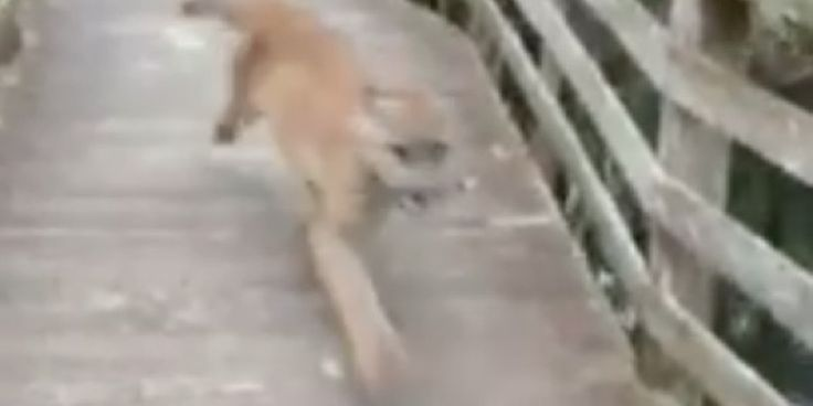 Florida woman and wild panther scare the s**t out of one another