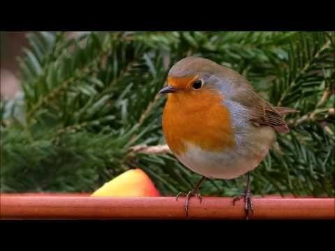 Détente chant des oiseaux: la nature, la forêt et le chant des oiseaux. - YouTube
