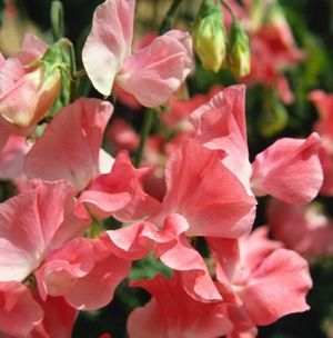 """Sweet Peas ~ have an intense orange-jasmine-honey scent.  """"The 'odor' of the sweet pea is so offensive to flies that it will drive them out of a sick-room, though not in the slightest degree disagreeable to the patient.""""  –A tip from The 1899 Old Farmer's Almanac"""