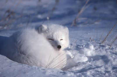Arctic Fox by kingdom71 on deviantART