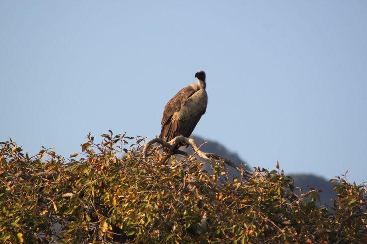 Gyps - White-backed Vulture (Gyps africanus)