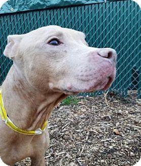 Washington, DC - Pit Bull Terrier Mix. Meet Pope, a dog for adoption. http://www.adoptapet.com/pet/16990459-washington-dc-pit-bull-terrier-mix