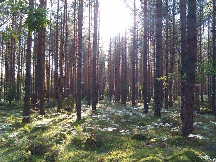 Skog i Gullringen.  Forest in Gullringen.