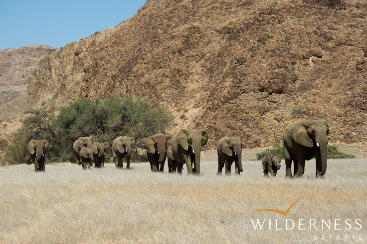 Doro Nawas Camp - Wildlife viewing at Doro Nawas Camp concentrates on the game found in the riverbed and along the valleys that fill with floodwaters during particularly good rainy seasons. #Safari #Africa #Namibia #WildernessSafaris