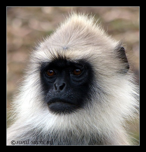Hanuman langurs are named after the minor Indian monkey god from the story, The Ramayana.
