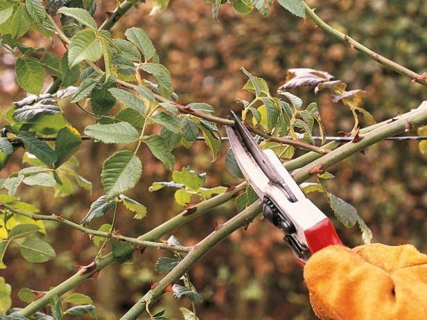Как правильно обрезать розы