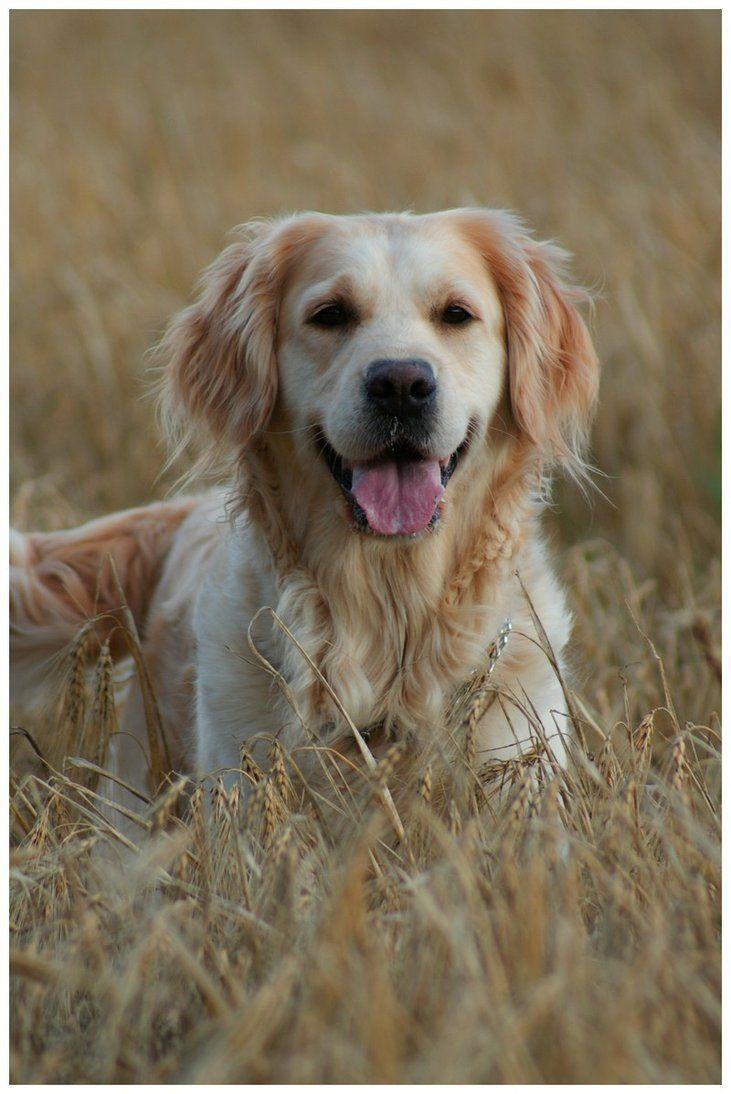 Goldenretriever With Images Golden Retriever Puppy