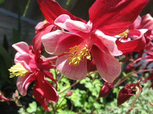 One of my favorite flowers of all time the Colorado State Flower Columbine it is one of the Deer & Rabbit Resistant Flowers you can plant in your #Colorado Garden #examinercom http://www.examiner.com/douglas-county-in-denver/rabbit-and-deer-resistant-flowers-for-your-colorado-garden-picture