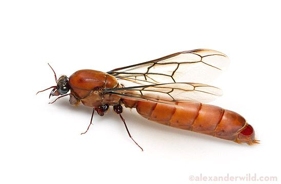 african sausage fly -- could this critter be the secret ingredient of the mumbo?