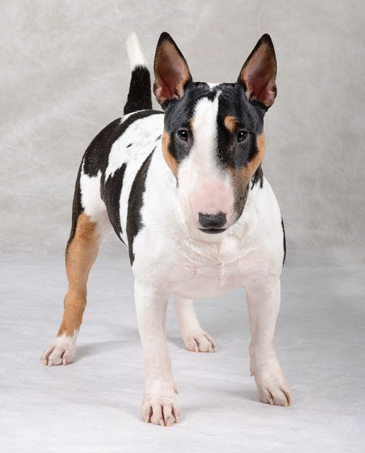 "Miniature Bull Terrier ""Keka"" by 100dogs"