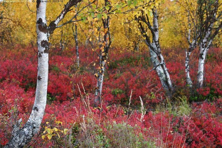 Syksyn väriloisto - syksy syys syksyn syysmaisema syysaika syksyinen syyskuu…