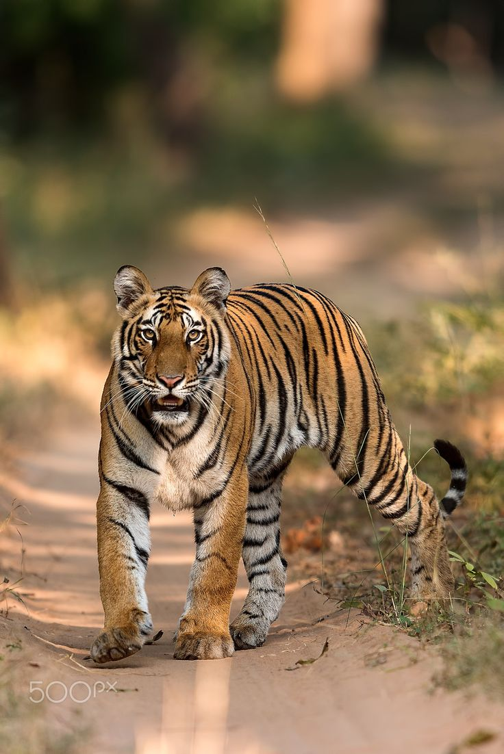 17 Best Ideas About Tiger Cubs On Pinterest